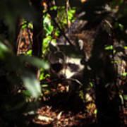 Swamp Raccoon Poster