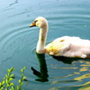 Swan Cygnet By Earl's Photography Poster