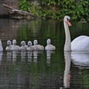 Swan Family Portrait Poster