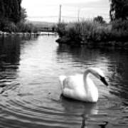 Swan In Black And White Poster
