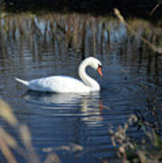 Swan In Blue Pond Poster