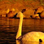 Swan Near Sundown Poster