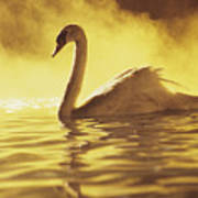 Swan On Gold Poster
