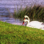 Swan Pair Warm Color Poster