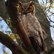 Swan Point Great Horned Owl Poster