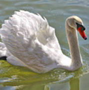 Swan Swimming By Poster