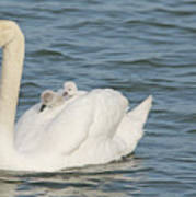Mute Swan With Babies On Its Back Poster