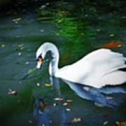 Swan With Twig Poster
