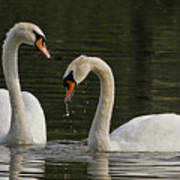 Swans Courtship Poster