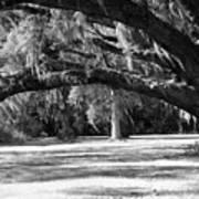 Swaying Oak  Poster