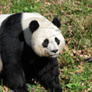 Sweet Chinese Panda Bear Sitting Down In Grass Poster