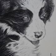 Sweet Girl Border Collie Puppy Poster