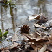 Sweet Gum Seed Pod In Mississippi Winter Poster