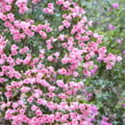 Sweet Pink Southern Azaleas Poster