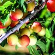 Sweet Ripe  Plum On A Branch Poster
