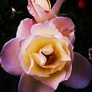 Sweet Rose Poster