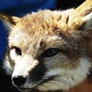 Swift Fox With Oil Painting Effect Poster