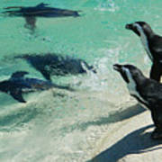 Swim Race - African Penquins Poster