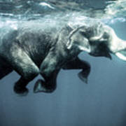 Swimming Elephant Poster