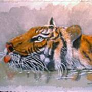 Swimming Tiger Poster