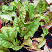 Swiss Chard In A Vegetable Garden 1 Poster