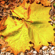 Sycamore Leaf  In Fall Poster