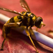 Syrphid Fly Poised Poster
