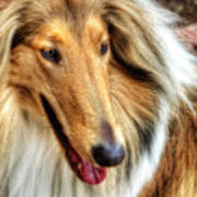 Taffy Collie Poster
