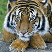 Takin A Break Tiger Poster