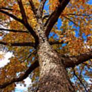 Tall Fall Tree Poster