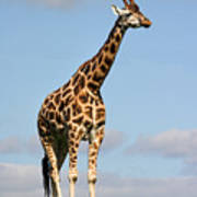 Tall Giraffe In A Field Fota Ireland Poster