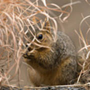 Tall Grasses Make Up A Fox Squirrels Poster by Joel Sartore