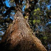Tall Oak Poster