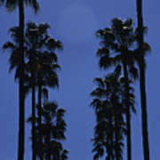 Tall Palm Trees In A Row Poster