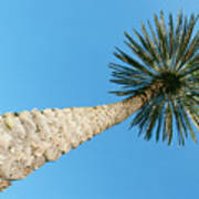 Tall Palm Poster