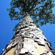 Tall Pine Tree In Summer Poster