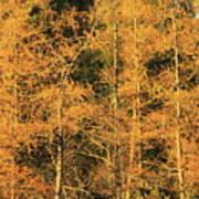 Tamarack Foliage Poster