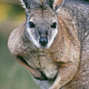 Tamma Wallaby Poster