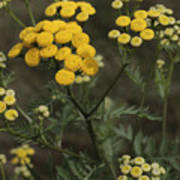 Tansy Blossoms Poster