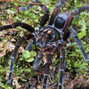 Tarantula Pamphobeteus Sp Male, Mindo Poster