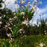 Tarflower Blooming Poster