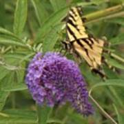 Tattered Tiger Swallowtail Butterfly          August         Indiana Poster