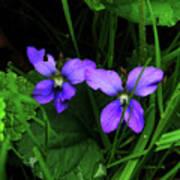 Tattered Wild Violets Poster