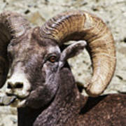 Taunting Bighorn Poster