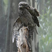 Tawny Frogmouth With It's Eyes Closed And Wing Extended Poster