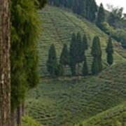 Tea Garden In Darjeeling Poster