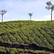 Tea Planation In Kerala - India Poster