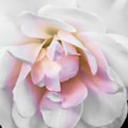 Tea Rose Poster
