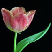 Teardrop Tulip Poster by Tracy Hall