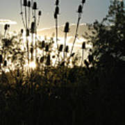 Teasel Sunset Glow Poster